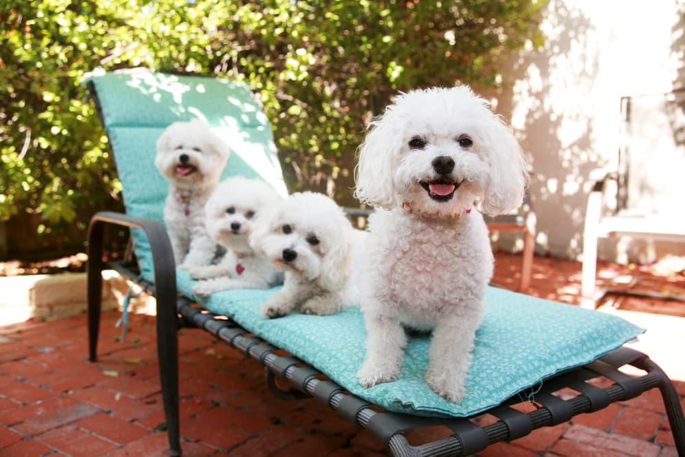 Three Bichon Frise dogs