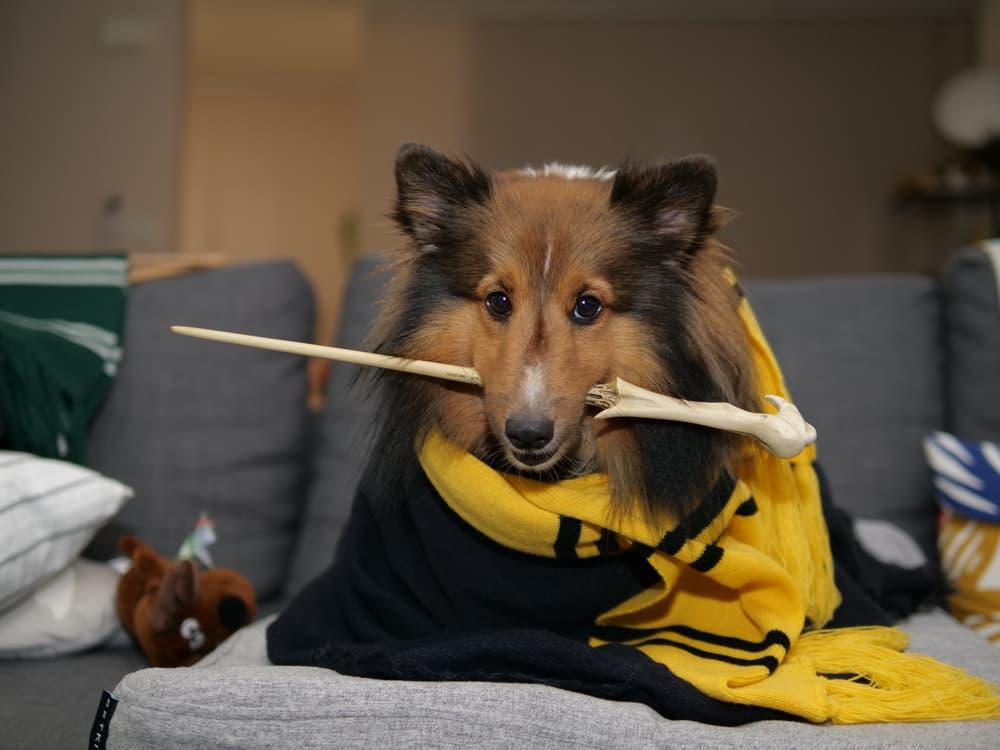 Dog dressed like Harry Potter