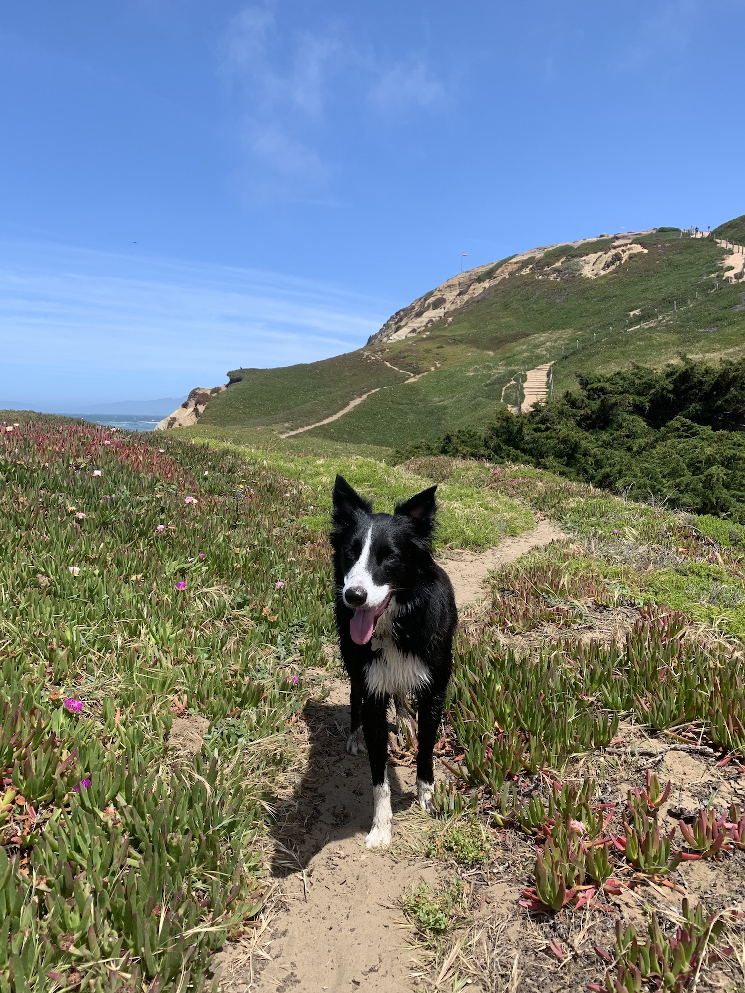 A border collie on a trail in Fort Funston, an off leash dog park in San Francisco.