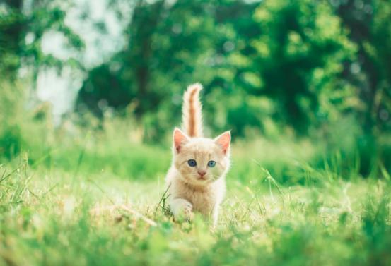 Orange kitten with blue eyes walking through grass on a sunny day/