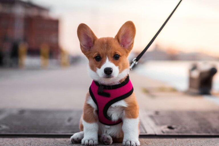 Corgi puppy in Baltimore