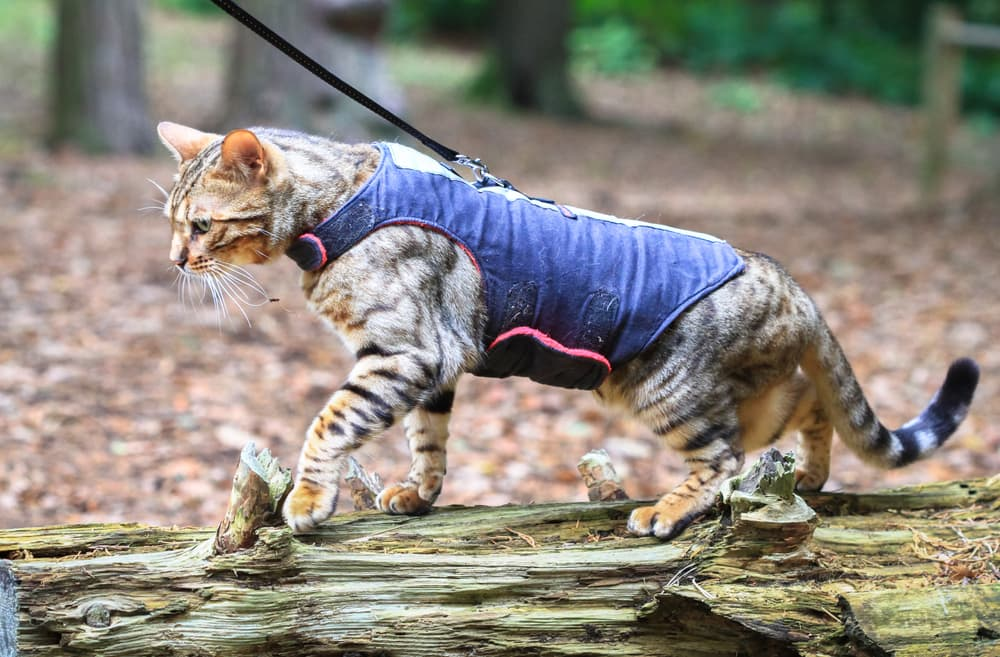 Cat in harness in the woods