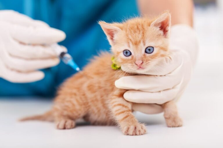 Kitten getting vaccination