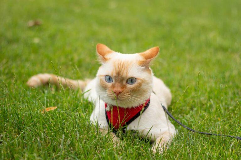 Cat in harness in grass