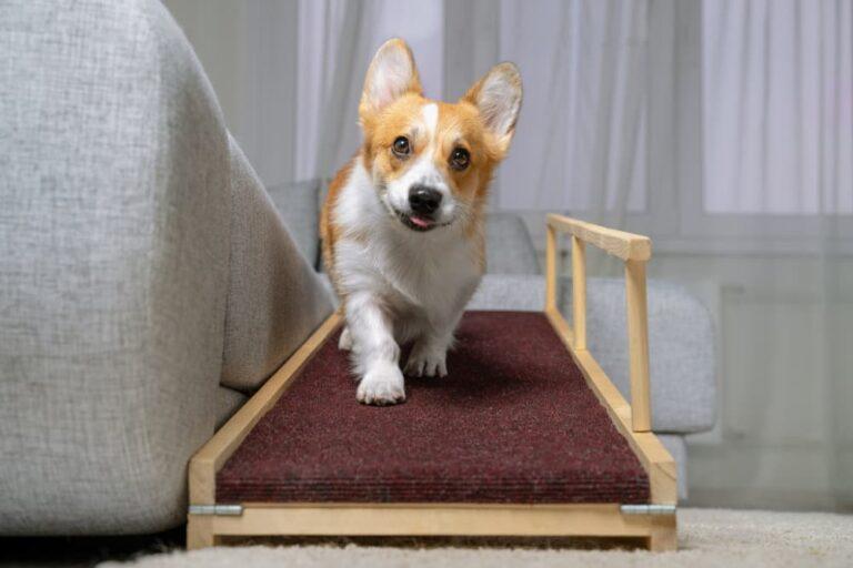 Corgi going down dog ramp