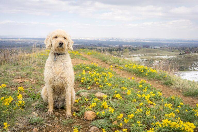 Dog on hiking trail in Denver