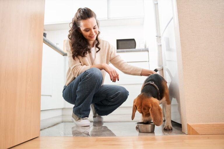 Woman feeding Beagle dog