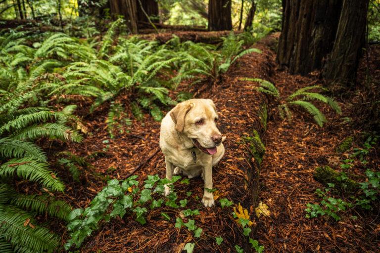 Labrador retriever in hiking in Redwoods