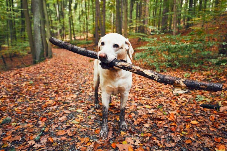 Dog hiking in fall leaves