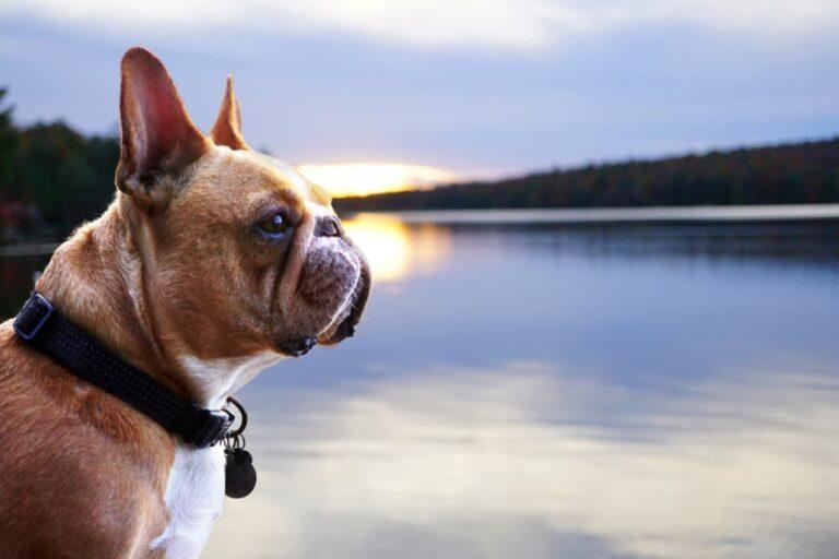 Dog looking at Lake Placid