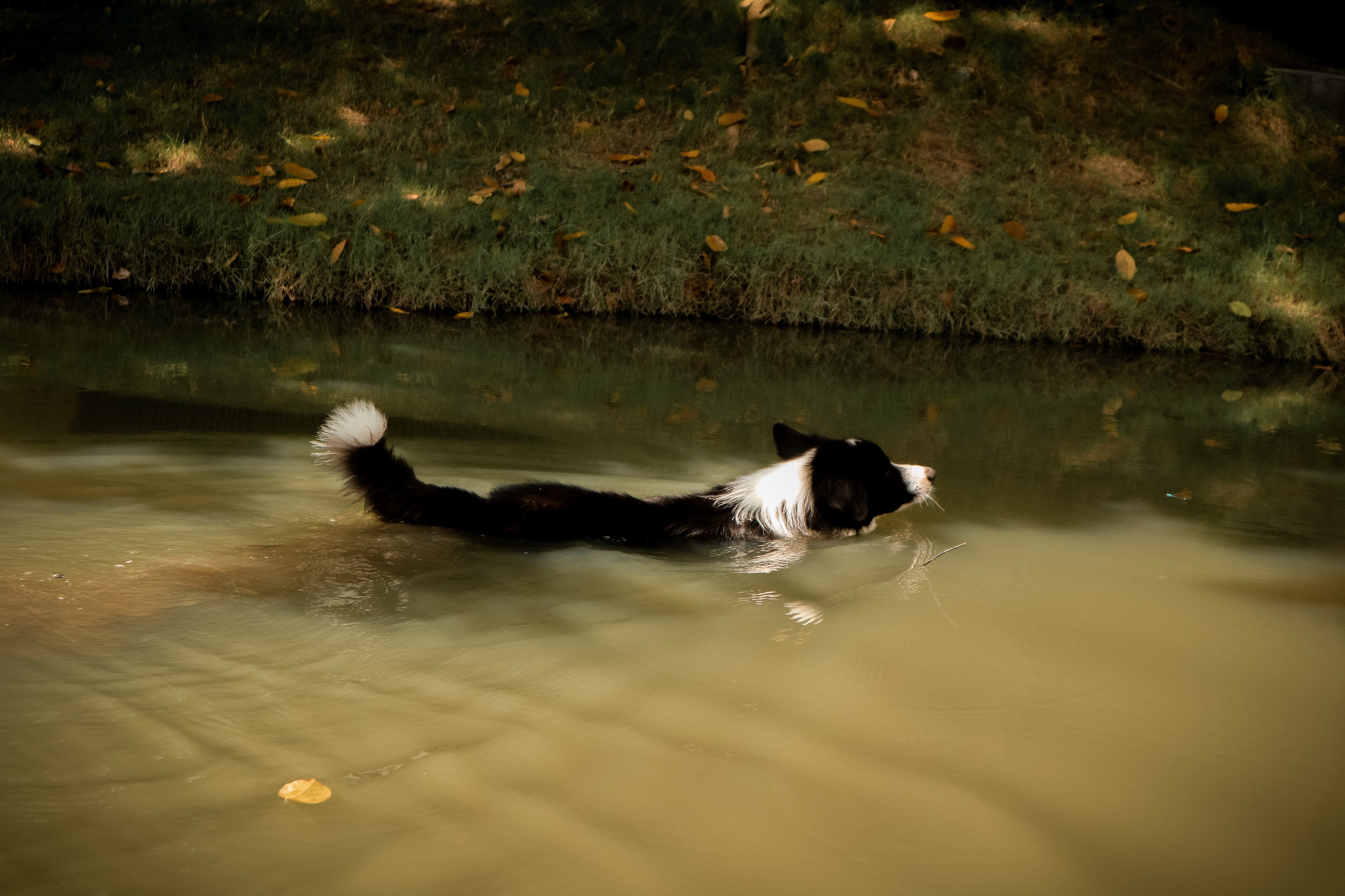 A border collie swimming in a pond at a dog park.