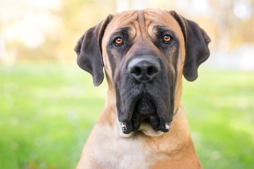 Dog Jowls: Everything You Need to Know