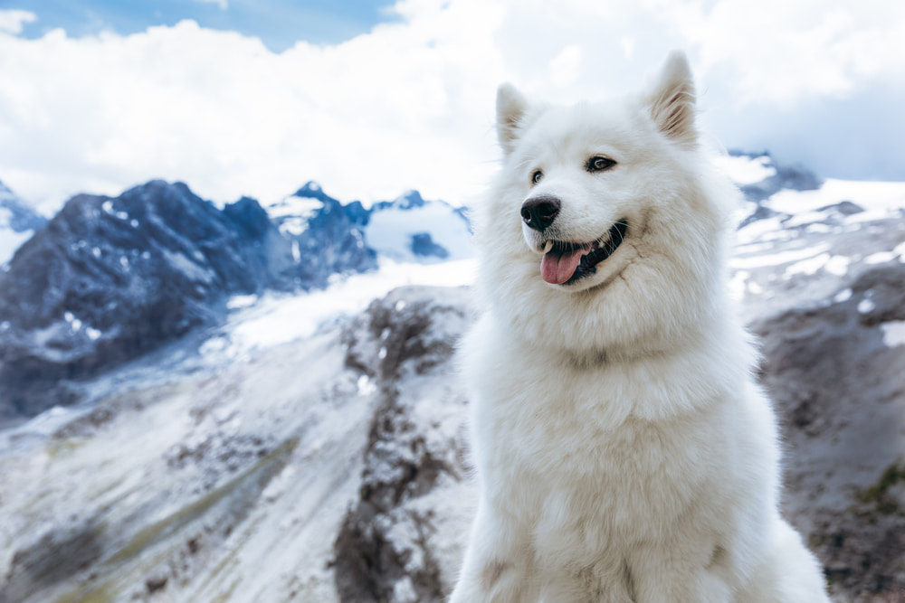 White dog on mountain hike