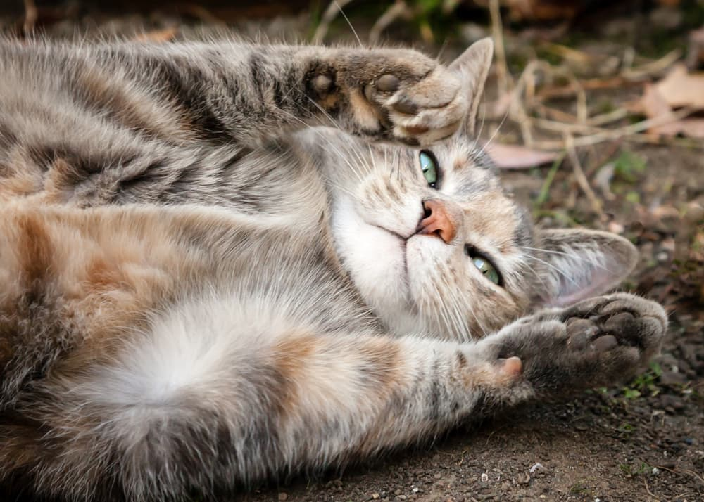 Grey cat lying in dirt