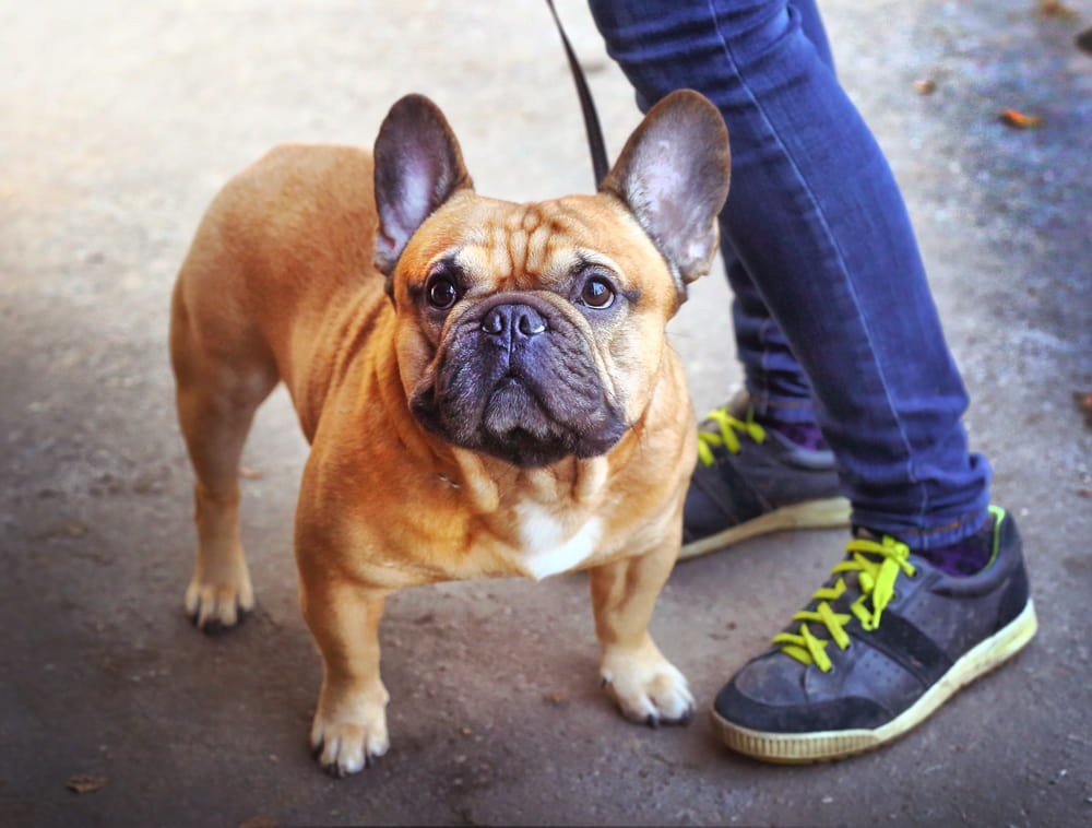 Cute French Bulldog on walk