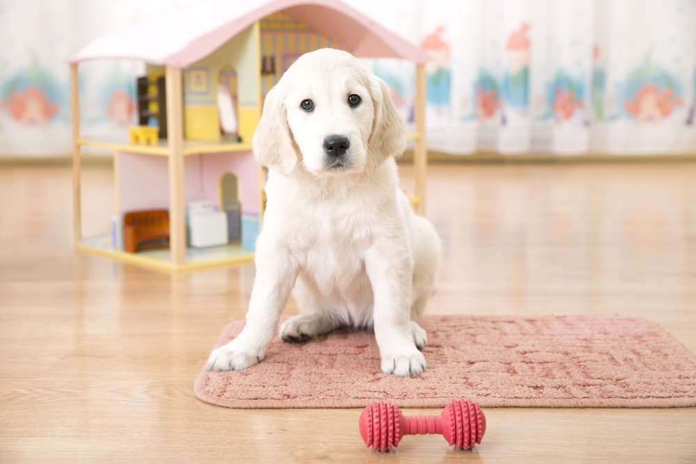 Puppy scooting on carpet