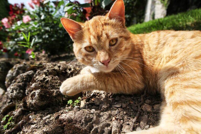 Orange cat in dirt