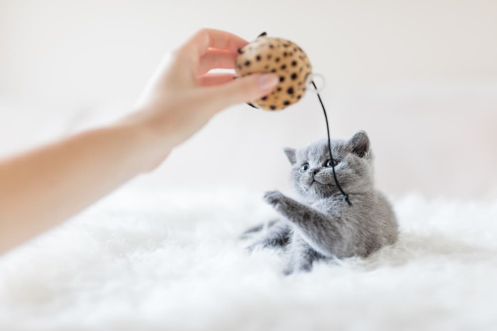 Cat playing with ball and string