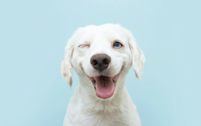 white dog blue background
