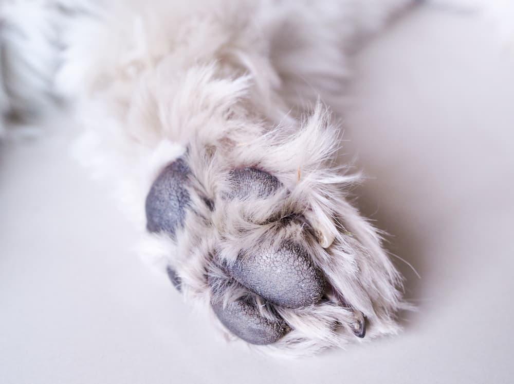 Dog paw with dry cracks