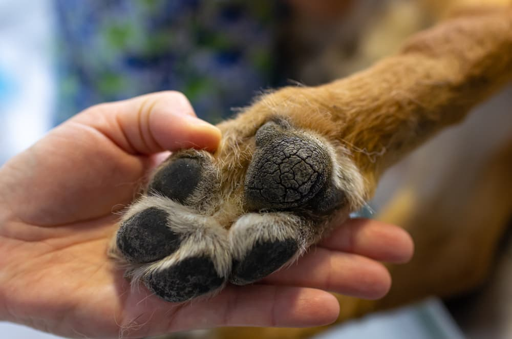Treating dog dry paw