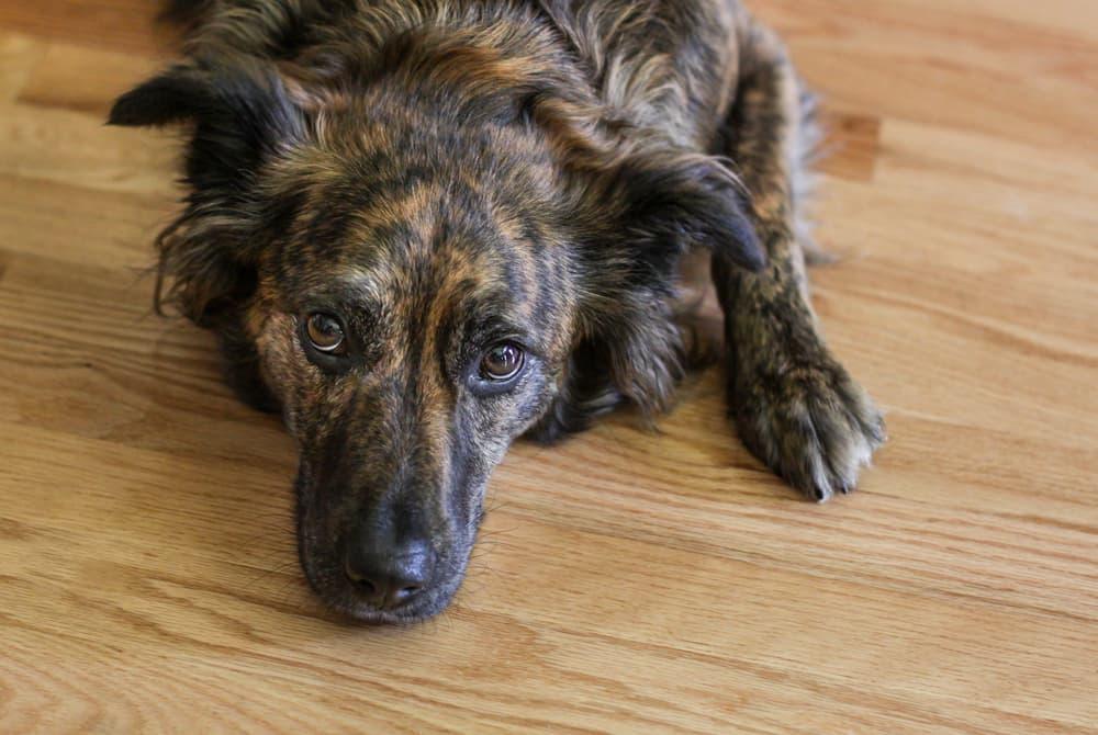 Sick dog lying on floor