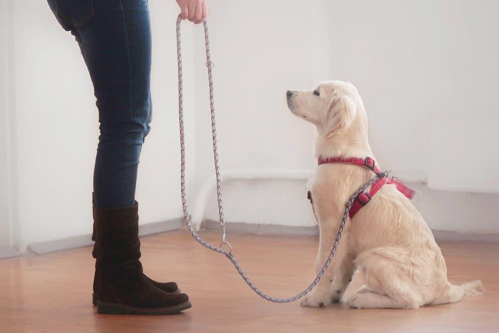 puppy undergoing training