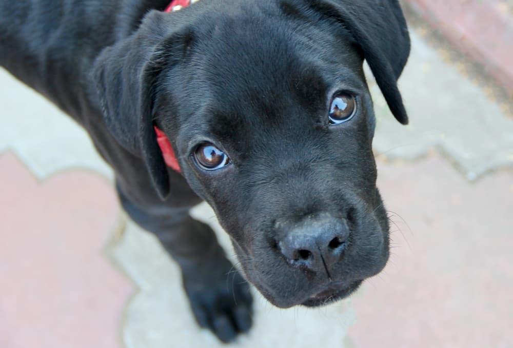 Cute black puppy looking at camera