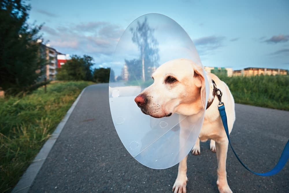 Dog walking with an e-collar after being treated for a wound