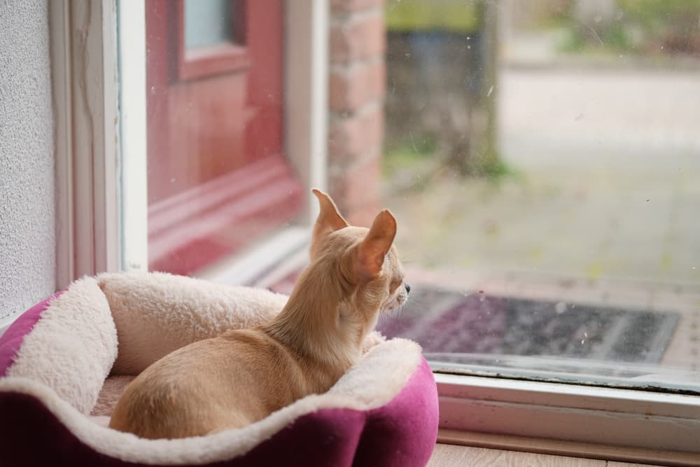 Dog laying in dog bed looking out at window for owner showing signs of loneliness
