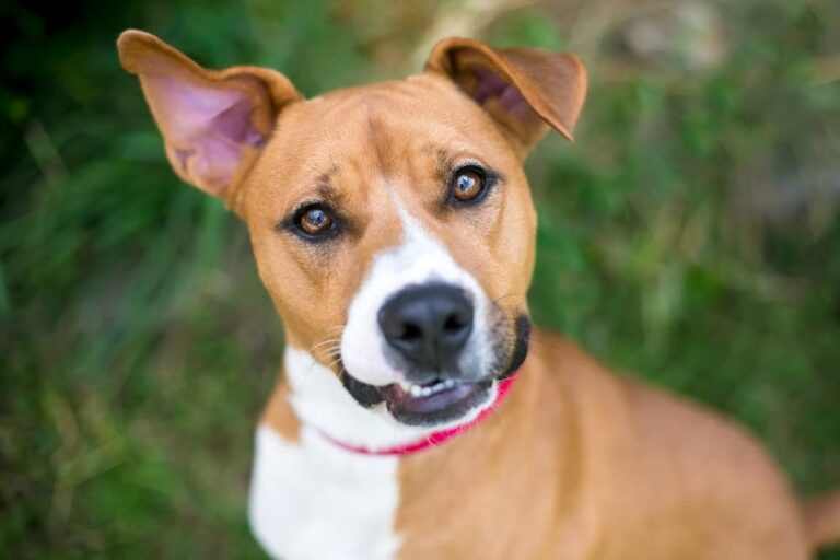 Dog looking to camera with head tilted, ear up and mouth open