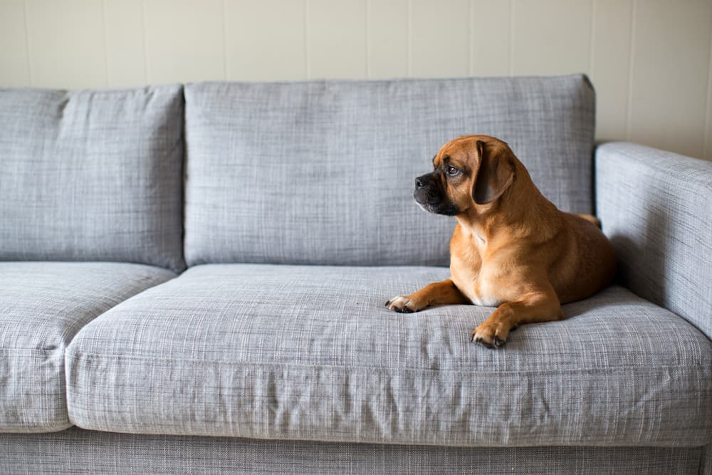 Dog resting on the couch