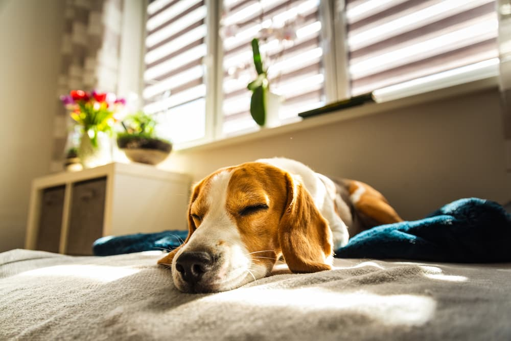Dog sleeping on bed and very rested and happy