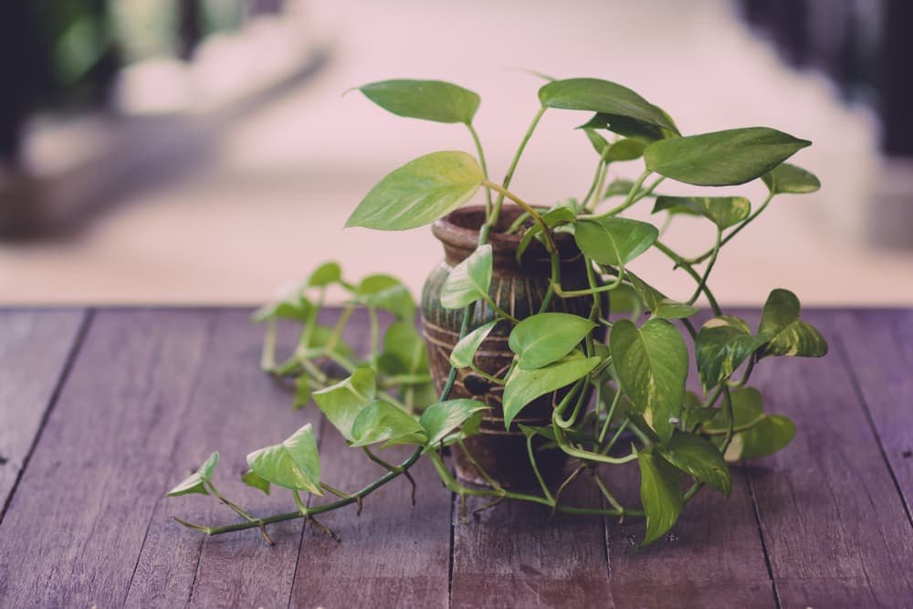 Potted devil's ivy plant on top of a wooden table