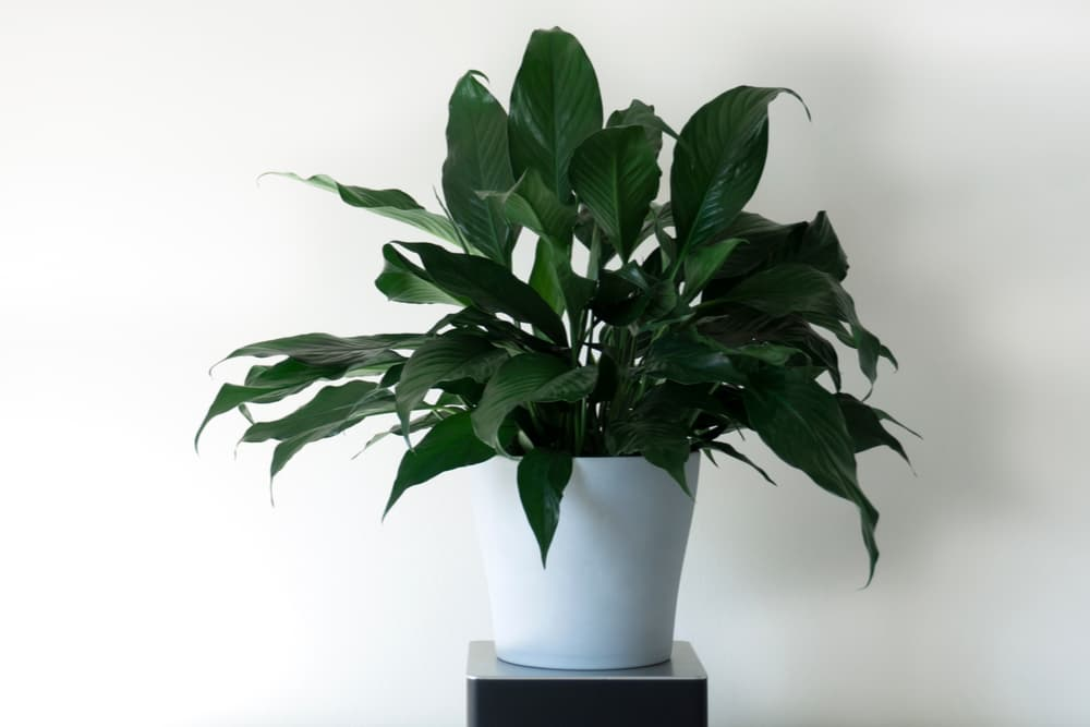 Potted peace lily plant in the home