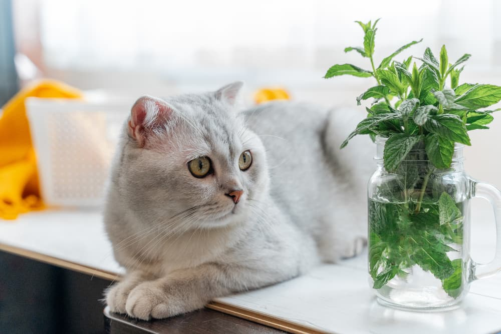 Cat sitting on kitchen table unhappy next to jar of herbs a smell the cat hates