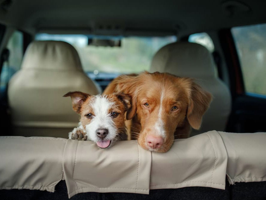 Do Dogs Get Carsick?
