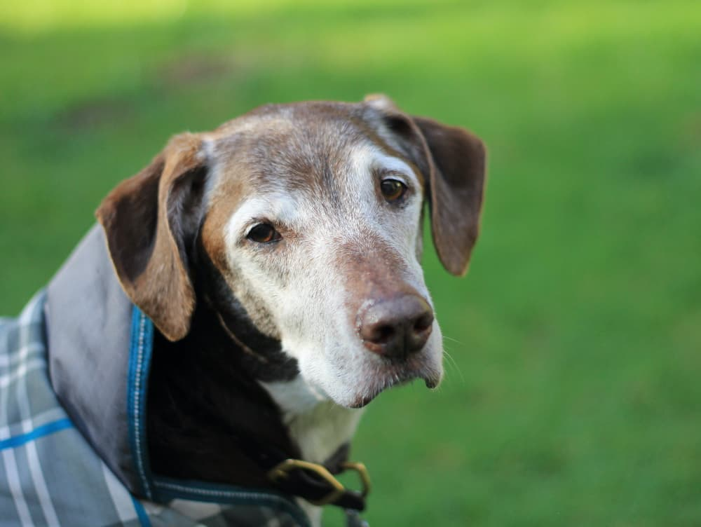 Old Dog Seizures: Why They Happen and How to Help