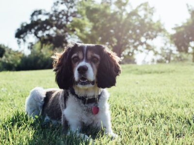 Inflammation in Dogs: Causes, Symptoms, and How to Help