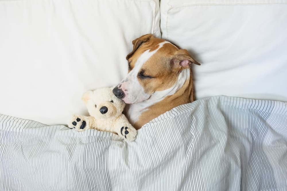 Melatonin for Dogs: Can They Have It?